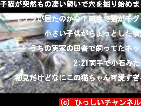 子猫が突然もの凄い勢いで穴を掘り始めました  (c) ひっしいチャンネル