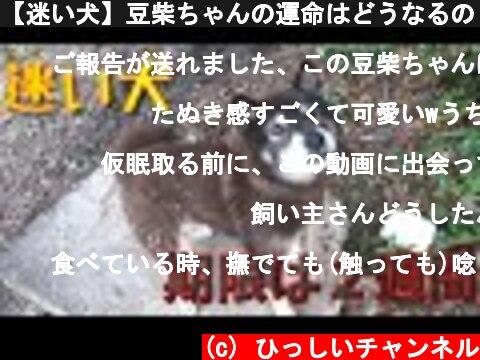 【迷い犬】豆柴ちゃんの運命はどうなるの・・?  (c) ひっしいチャンネル