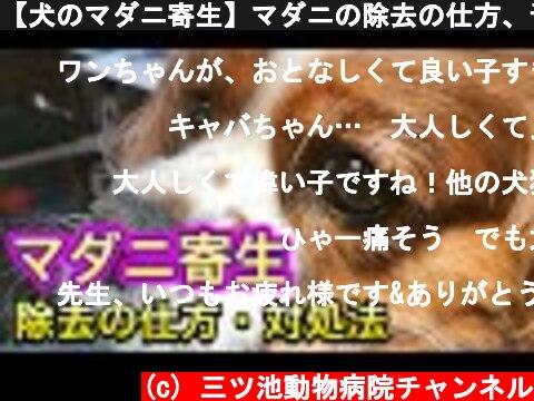 【犬のマダニ寄生】マダニの除去の仕方、予防方法、愛犬のための知識  (c) 三ツ池動物病院チャンネル