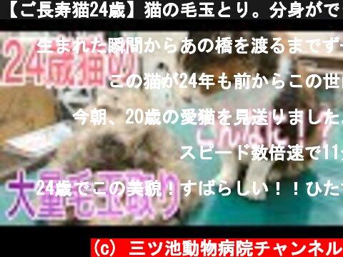 【ご長寿猫24歳】猫の毛玉とり。分身ができるほどの毛玉の山ができました!  (c) 三ツ池動物病院チャンネル