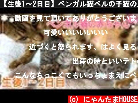 【生後1〜2日目】ベンガル猫ベルの子猫の成長記録  (c) にゃんたまHOUSE