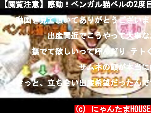 【閲覧注意】感動!ベンガル猫ベルの2度目の出産を一部始終レポート  (c) にゃんたまHOUSE