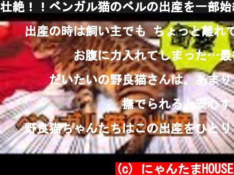 壮絶!!ベンガル猫のベルの出産を一部始終レポート!  (c) にゃんたまHOUSE