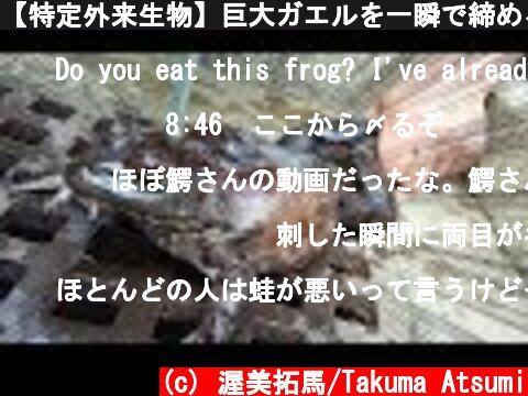 【特定外来生物】巨大ガエルを一瞬で締める方法がすごかった!!!  (c) 渥美拓馬/Takuma Atsumi