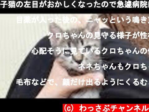 子猫の左目がおかしくなったので急遽病院に  (c) わっさぶチャンネル