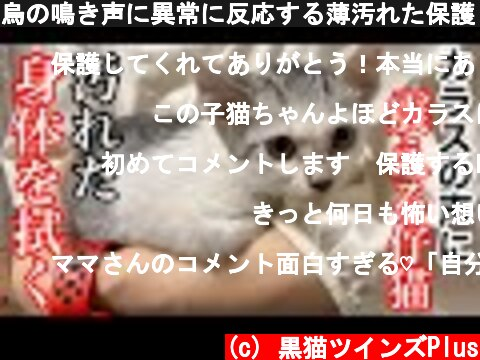 烏の鳴き声に異常に反応する薄汚れた保護した仔猫の身体を拭いてみた…。  (c) 黒猫ツインズPlus