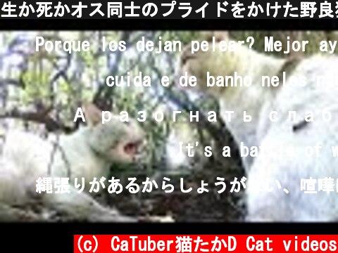 生か死かオス同士のプライドをかけた野良猫の喧嘩がすさまじすぎる!! 感動猫動画  (c) CaTuber猫たかD Cat videos