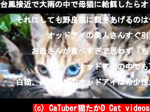 台風接近で大雨の中で母猫に給餌したらオッドアイのかわいくて美しい子猫が最後に登場してうまそうにカルカン(kalkan)を食べた 野良猫 感動猫動画  (c) CaTuber猫たかD Cat videos
