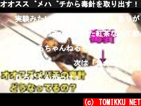 オオスズメバチから毒針を取り出す!!  (c) TOMIKKU NET