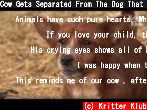 Cow Gets Separated From The Dog That She Raised.. (Part 2) | Kritter Klub  (c) Kritter Klub