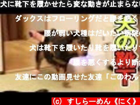 犬に靴下を履かせたら変な動きが止まらないwww【爆笑】  (c) すしらーめん《にく》