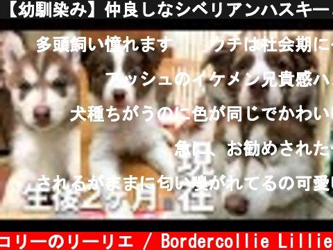 【幼馴染み】仲良しなシベリアンハスキーとボーダーコリーの子犬から成犬までの記録 / Adult dog from siberian husky and border collie puppy  (c) ボーダーコリーのリーリエ / Bordercollie Lillie