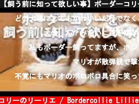 【飼う前に知って欲しい事】ボーダーコリーは賢すぎて大変って本当?ワンちゃん共通?【子犬の破壊行動など】  (c) ボーダーコリーのリーリエ / Bordercollie Lillie