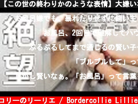 【この世の終わりかのような表情】大嫌いなお風呂に入れられて悲しくてごめんねだけど可愛い顔をするボーダーコリー  (c) ボーダーコリーのリーリエ / Bordercollie Lillie