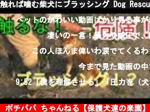 触れば噛む柴犬にブラッシング Dog Rescue A&R  (c) ポチパパ ちゃんねる【保護犬達の楽園】