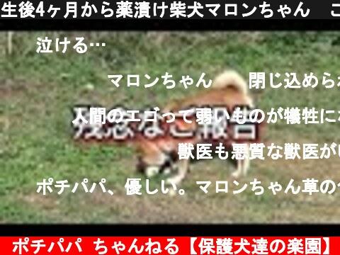 生後4ヶ月から薬漬け柴犬マロンちゃん ご報告  (c) ポチパパ ちゃんねる【保護犬達の楽園】