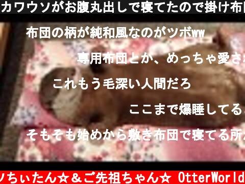 カワウソがお腹丸出しで寝てたので掛け布団をかけたがシッポまで収まらなかった  (c) コツメカワウソちぃたん☆&ご先祖ちゃん☆ OtterWorld