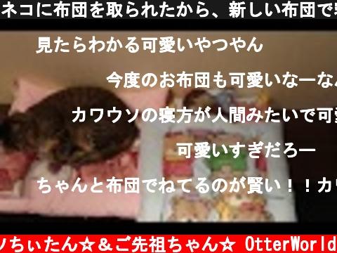 ネコに布団を取られたから、新しい布団で寝るカワウソちぃたん☆Cat, otter and Japanese futon  (c) コツメカワウソちぃたん☆&ご先祖ちゃん☆ OtterWorld