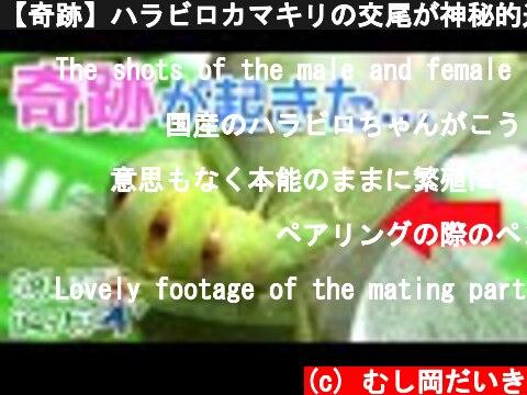 【奇跡】ハラビロカマキリの交尾が神秘的過ぎた  (c) むし岡だいき