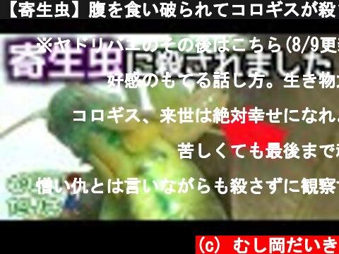 【寄生虫】腹を食い破られてコロギスが殺されました (Leaf-rolling crickets - Prosopogryllacris japonica/parasite)  (c) むし岡だいき