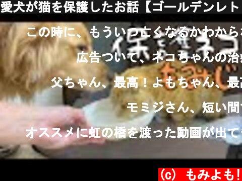 愛犬が猫を保護したお話【ゴールデンレトリバー】  (c) もみよも!