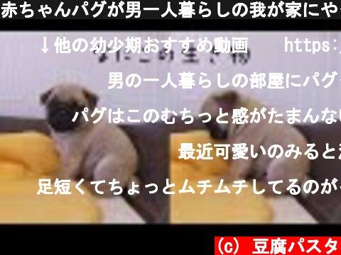 赤ちゃんパグが男一人暮らしの我が家にやってきた時の様子がこちらです  (c) 豆腐パスタ