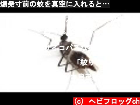 爆発寸前の蚊を真空に入れると…  (c) ヘビフロッグch
