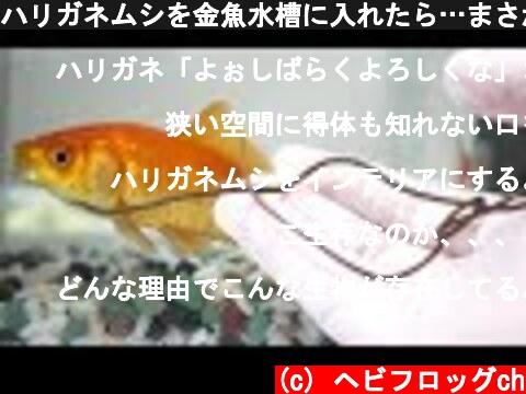 ハリガネムシを金魚水槽に入れたら…まさかの結果に!  (c) ヘビフロッグch