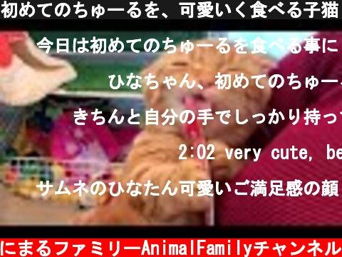 初めてのちゅーるを、可愛いく食べる子猫【短足マンチカン ひな子】  (c) あにまるファミリーAnimalFamilyチャンネル