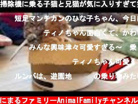 掃除機に乗る子猫と兄猫が気に入りすぎて笑える…w【短足マンチカン ひな子】munchkin kitten Robot Vacuum  (c) あにまるファミリーAnimalFamilyチャンネル