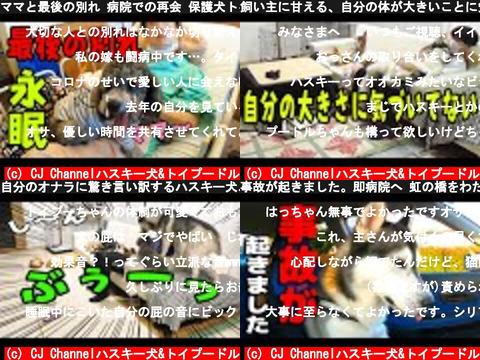 CJ Channelハスキー犬&トイプードル(おすすめch紹介)