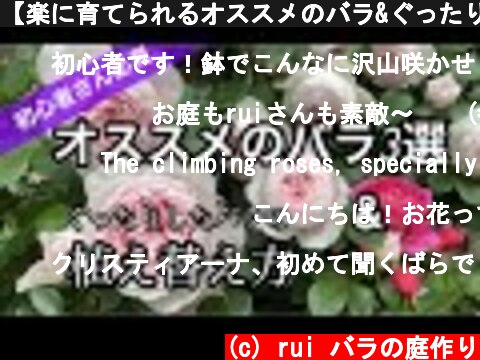 【楽に育てられるオススメのバラ&ぐったりした鉢バラの植え替え方】  (c) rui バラの庭作り