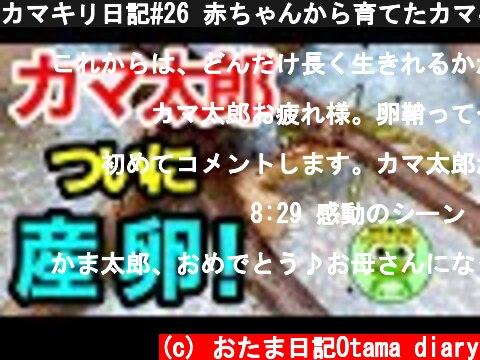カマキリ日記#26 赤ちゃんから育てたカマキリがついに卵を産みました!(11月10日-13日)【byおたま日記】  (c) おたま日記Otama diary