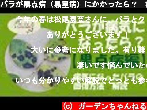 バラが黒点病(黒星病)にかかったら? #4  (c) ガーデンちゃんねる