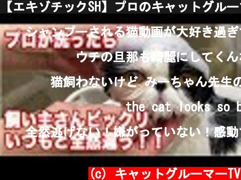 【エキゾチックSH】プロのキャットグルーマーが洗ったら飼い主さんがビックリ、いつもと全然違う!!【ソルちゃん】  (c) キャットグルーマーTV
