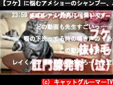 【フケ】に悩むアメショーのシャンプー、ハプニングも発生【抜け毛】  (c) キャットグルーマーTV