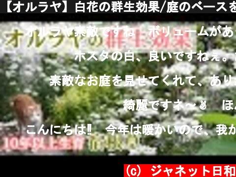 【オルラヤ】白花の群生効果/庭のベースを作る宿根草8種*10年以上生育中で管理が楽な植物/ネコと庭とガーデニング  (c) ジャネット日和