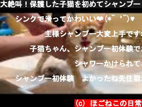大絶叫!保護した子猫を初めてシャンプーしました。  (c) ほごねこの日常