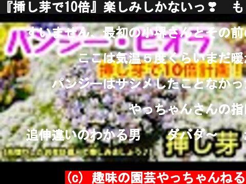 『挿し芽で10倍』楽しみしかないっ❣️もう春まで待ちきれない🌸🌸🌸  (c) 趣味の園芸やっちゃんねる