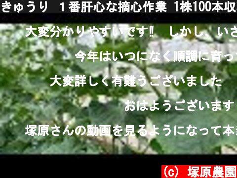 きゅうり 1番肝心な摘心作業 1株100本収穫目標 19/5/11  (c) 塚原農園