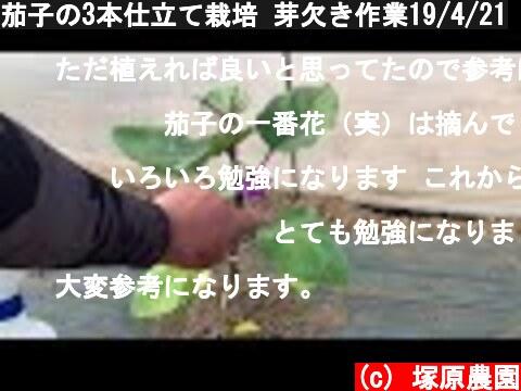 茄子の3本仕立て栽培 芽欠き作業19/4/21  (c) 塚原農園