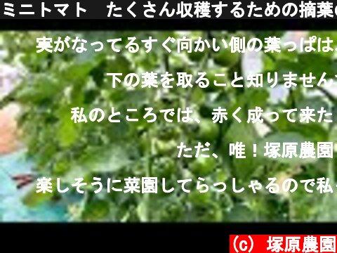 ミニトマト たくさん収穫するための摘葉の方法と育て方のコツ 20/6/8  (c) 塚原農園