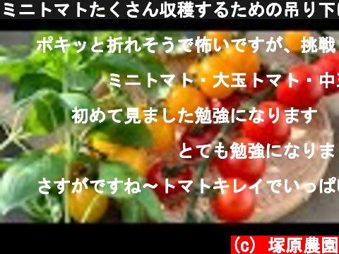 ミニトマトたくさん収穫するための吊り下げのやり方 20/6/22  (c) 塚原農園