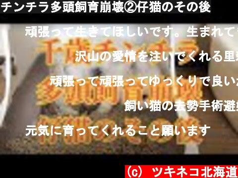 チンチラ多頭飼育崩壊②仔猫のその後  (c) ツキネコ北海道
