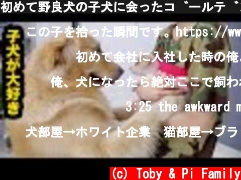 初めて野良犬の子犬に会ったゴールデンレトリバーの反応が超面白い・すぐに仲良しになった。  (c) Toby & Pi Family