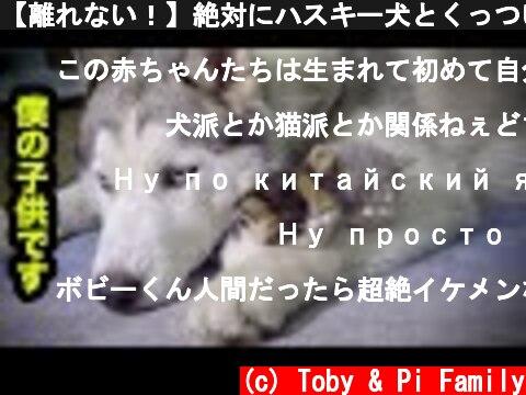 【離れない!】絶対にハスキー犬とくっついて寝たがる子猫・可愛すぎる赤ちゃん猫  (c) Toby & Pi Family