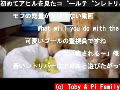 初めてアヒルを見たゴールデンレトリバーの反応がかわいすぎる  (c) Toby & Pi Family