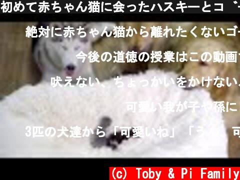 初めて赤ちゃん猫に会ったハスキーとゴールデンレトリバーの反応が可愛い・めっちゃ嬉しそう  (c) Toby & Pi Family