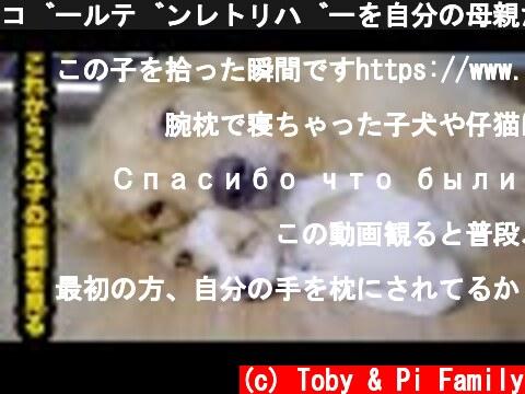 ゴールデンレトリバーを自分の母親だと思っている野良犬の子犬・何て幸せな世界(*´︶`*)♡  (c) Toby & Pi Family