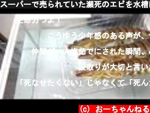 スーパーで売られていた瀕死のエビを水槽に入れると…  (c) おーちゃんねる